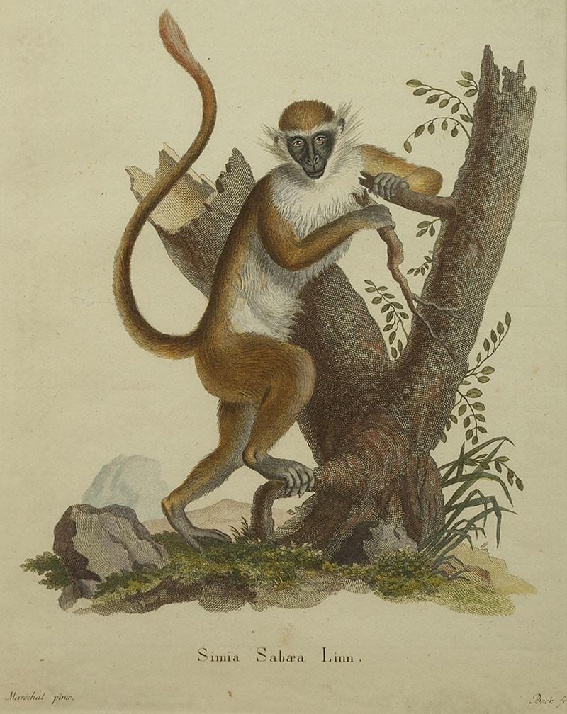 Małpa, II poł. XVIIIw.