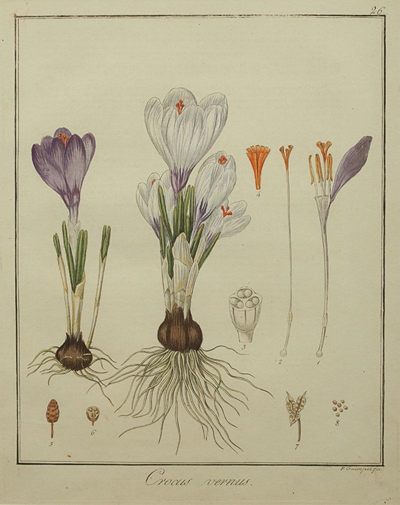 Krokus wiosenny, 1819 r.