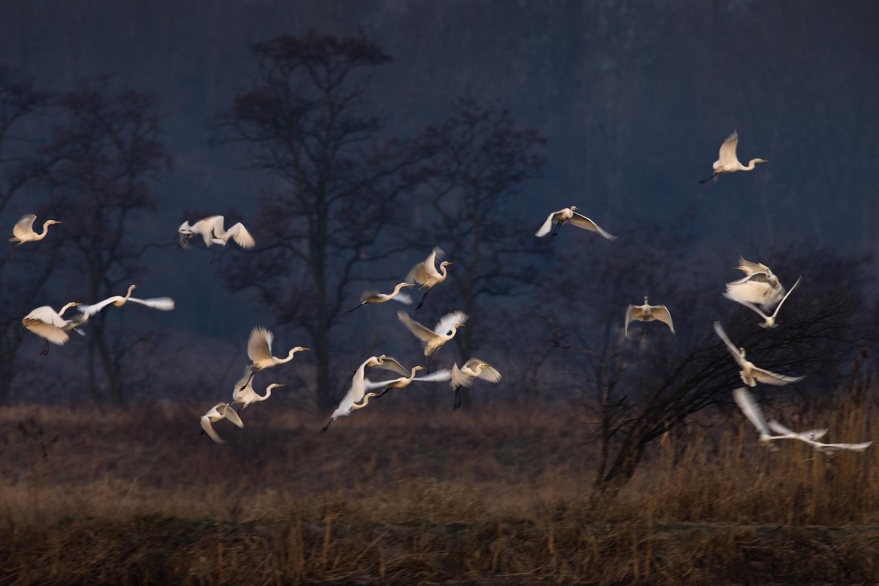 The white herons, 2009/2020