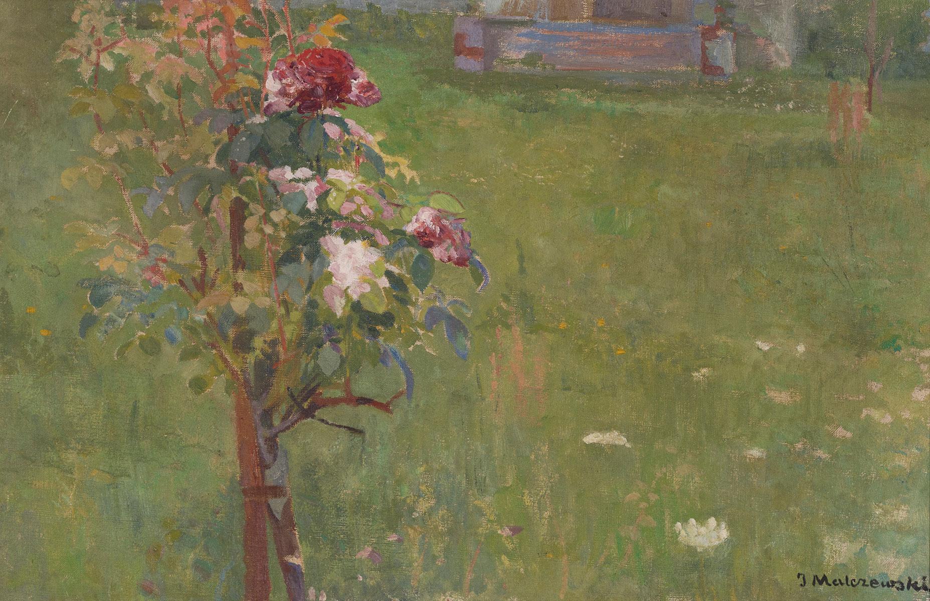 Krzak róży