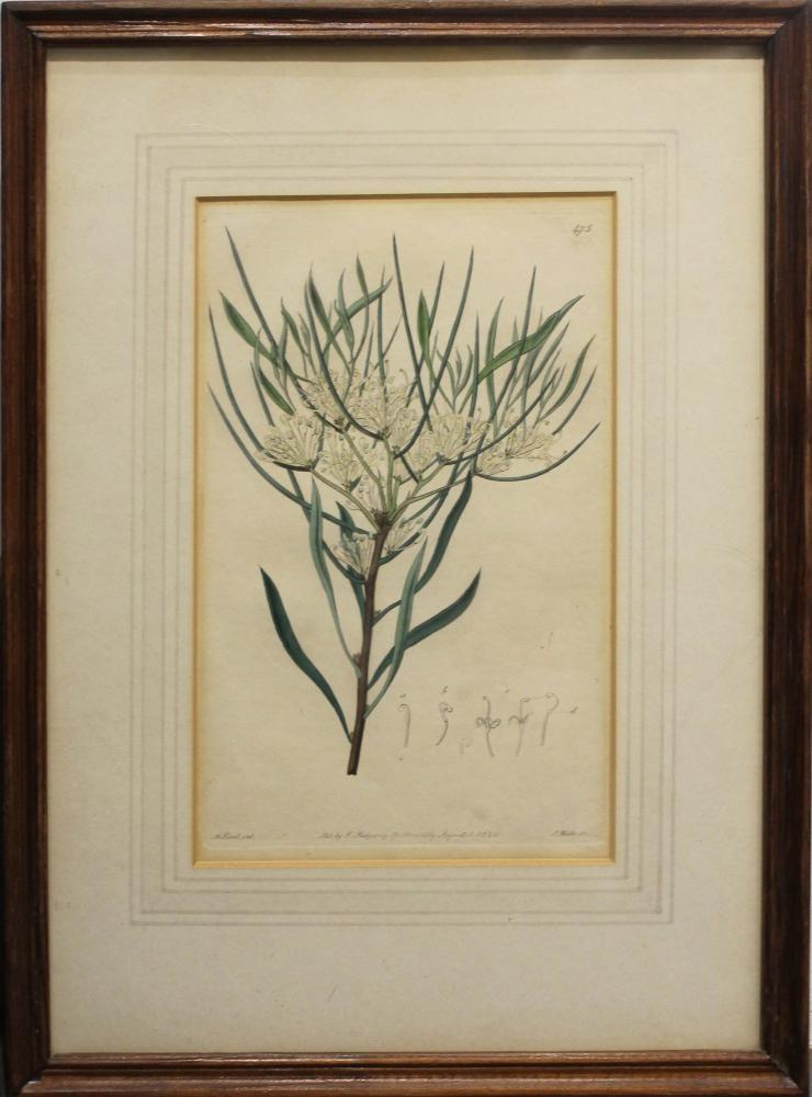 Rycina botaniczna: HAKEA MICROCARPA, 1820