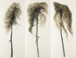 """Tryptyk """"Pinus I"""", """"Pinus II"""", """"Pinus III"""", 2018"""