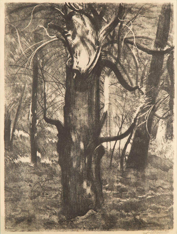 Cis (z Borów Tucholskich), 1931